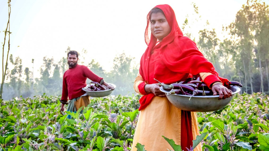 Small-scale farmers harvest eggplant from their fields in Bangladesh in 2018